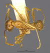 Media of type image, MCZ:Ent:20694 Identified as Pheidole obtusospinosa type status Syntype of Pheidole subdentata. . Aspect: habitus dorsal view