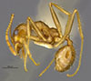 Media of type image, MCZ:Ent:20694 Identified as Pheidole obtusospinosa type status Syntype of Pheidole subdentata. . Aspect: habitus lateral view
