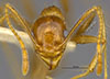 Media of type image, MCZ:Ent:20694 Identified as Pheidole obtusospinosa type status Syntype of Pheidole subdentata. . Aspect: head frontal view