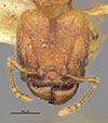 Media of type image, MCZ:Ent:20697 Identified as Pheidole risii type status Syntype of Pheidole risii. . Aspect: head frontal view