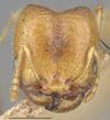 http://mczbase.mcz.harvard.edu/specimen_images/entomology/large/MCZ-ENT00020714_Pheidole_californica_uruodensis_hef.jpg