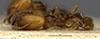 Media of type image, MCZ:Ent:20724 Identified as Pheidole pinealis type status Syntype of Pheidole pinealis. . Aspect: habitus lateral view