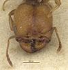 http://mczbase.mcz.harvard.edu/specimen_images/entomology/large/MCZ-ENT00020726_Pheidole_sitarches_var_transvarians_hef.jpg