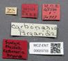 Media of type image, MCZ:Ent:20733 Identified as Pheidole tepicana type status Syntype of Pheidole carbonaria. . Aspect: labels