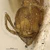 http://mczbase.mcz.harvard.edu/specimen_images/entomology/large/MCZ-ENT00020745_Pheidole_flavens_var_jheringi_hef.jpg