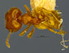 Media of type image, MCZ:Ent:20750 Identified as Pheidole tillandsiarum type status Lectotype of Pheidole tillandsiarum. . Aspect: habitus dorsal view