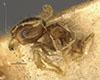 http://mczbase.mcz.harvard.edu/specimen_images/entomology/large/MCZ-ENT00020755_Pheidole_arbica_hala.jpg