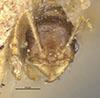 http://mczbase.mcz.harvard.edu/specimen_images/entomology/large/MCZ-ENT00020755_Pheidole_arbica_hefa.jpg
