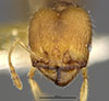 http://mczbase.mcz.harvard.edu/specimen_images/entomology/large/MCZ-ENT00020756_Pheidole_punctatissima_annectens_hef.jpg