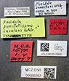 Media of type image, MCZ:Ent:20757 Identified as Pheidole bilimeki type status Syntype of Pheidole punctatissima insulana. . Aspect: labels