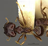 Media of type image, MCZ:Ent:20772 Identified as Pheidole walkeri type status Syntype of Pheidole walkeri. . Aspect: habitus dorsal view