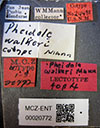 Media of type image, MCZ:Ent:20772 Identified as Pheidole walkeri type status Syntype of Pheidole walkeri. . Aspect: labels