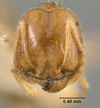 Media of type image, MCZ:Ent:20773 Identified as Pheidole williamsi type status Syntype of Pheidole williamsi var. seymourensis. . Aspect: head frontal view