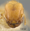 Media of type image, MCZ:Ent:20778 Identified as Pheidole tachigaliae type status Syntype of Pheidole tachigaliae. . Aspect: head frontal view
