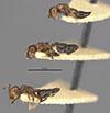 http://mczbase.mcz.harvard.edu/specimen_images/entomology/large/MCZ-ENT00020838_Crematogaster_subnuda_var_formosae_halb.jpg