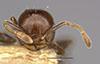 http://mczbase.mcz.harvard.edu/specimen_images/entomology/large/MCZ-ENT00020838_Crematogaster_subnuda_var_formosae_hefa.jpg