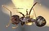 http://mczbase.mcz.harvard.edu/specimen_images/entomology/large/MCZ-ENT00020840_Crematogaster_dohrni_var_macabensis_had.jpg
