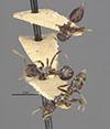 http://mczbase.mcz.harvard.edu/specimen_images/entomology/large/MCZ-ENT00020840_Crematogaster_dohrni_var_macabensis_hada.jpg