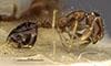 http://mczbase.mcz.harvard.edu/specimen_images/entomology/large/MCZ-ENT00020941_Solenopsis_specularis_hal.jpg