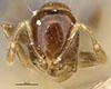 http://mczbase.mcz.harvard.edu/specimen_images/entomology/large/MCZ-ENT00020941_Solenopsis_specularis_hef.jpg