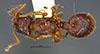 http://mczbase.mcz.harvard.edu/specimen_images/entomology/large/MCZ-ENT00020984_Myrmecina_latreillei_subsp_americana_hada.jpg