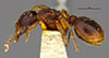 http://mczbase.mcz.harvard.edu/specimen_images/entomology/large/MCZ-ENT00020984_Myrmecina_latreillei_subsp_americana_hala.jpg