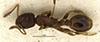 http://mczbase.mcz.harvard.edu/specimen_images/entomology/large/MCZ-ENT00021054_Leptothorax_muscorum_var_sordidus_had.jpg