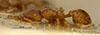 http://mczbase.mcz.harvard.edu/specimen_images/entomology/large/MCZ-ENT00021104_Strumigenys_louisianae_var_obscuriventris_hal.jpg