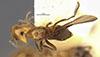 http://mczbase.mcz.harvard.edu/specimen_images/entomology/large/MCZ-ENT00021304_Azteca_aurita_pilosula_had.jpg
