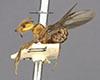 http://mczbase.mcz.harvard.edu/specimen_images/entomology/large/MCZ-ENT00021304_Azteca_aurita_pilosula_hal.jpg