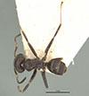 http://mczbase.mcz.harvard.edu/specimen_images/entomology/large/MCZ-ENT00021334_Azteca_luederwaldti_had.jpg
