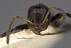 http://mczbase.mcz.harvard.edu/specimen_images/entomology/large/MCZ-ENT00021334_Azteca_luederwaldti_hef.jpg