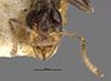 http://mczbase.mcz.harvard.edu/specimen_images/entomology/large/MCZ-ENT00021336_Azteca_olitrix_hef.jpg