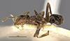 http://mczbase.mcz.harvard.edu/specimen_images/entomology/large/MCZ-ENT00021337_Azteca_velox_paraensis_hal.jpg