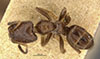 http://mczbase.mcz.harvard.edu/specimen_images/entomology/large/MCZ-ENT00021341_Azteca_prorsa_had.jpg