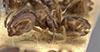http://mczbase.mcz.harvard.edu/specimen_images/entomology/large/MCZ-ENT00021341_Azteca_prorsa_hal.jpg