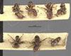 http://mczbase.mcz.harvard.edu/specimen_images/entomology/large/MCZ-ENT00021341_Azteca_prorsa_hala.jpg