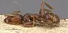http://mczbase.mcz.harvard.edu/specimen_images/entomology/large/MCZ-ENT00021342_Azteca_schimperi_hal.jpg