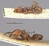 http://mczbase.mcz.harvard.edu/specimen_images/entomology/large/MCZ-ENT00021342_Azteca_schimperi_hala.jpg