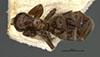 http://mczbase.mcz.harvard.edu/specimen_images/entomology/large/MCZ-ENT00021343_Azteca_schumanni_var_taediosa_had.jpg