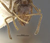 http://mczbase.mcz.harvard.edu/specimen_images/entomology/large/MCZ-ENT00021346_Azteca_traili_var_filicis_hef.jpg