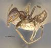 http://mczbase.mcz.harvard.edu/specimen_images/entomology/large/MCZ-ENT00021347_Azteca_traili_var_tillandsiarum_halb.jpg
