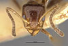 http://mczbase.mcz.harvard.edu/specimen_images/entomology/large/MCZ-ENT00021347_Azteca_traili_var_tillandsiarum_hefa.jpg