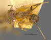 http://mczbase.mcz.harvard.edu/specimen_images/entomology/large/MCZ-ENT00021348_Azteca_traili_var_tococae_had.jpg