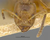 http://mczbase.mcz.harvard.edu/specimen_images/entomology/large/MCZ-ENT00021348_Azteca_traili_var_tococae_hef.jpg
