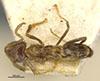 http://mczbase.mcz.harvard.edu/specimen_images/entomology/large/MCZ-ENT00021349_Azteca_traili_tococae_var_elatior_had.jpg