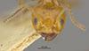 http://mczbase.mcz.harvard.edu/specimen_images/entomology/large/MCZ-ENT00021350_Azteca_trigona_mathildae_hef.jpg