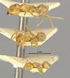 http://mczbase.mcz.harvard.edu/specimen_images/entomology/large/MCZ-ENT00021351_Azteca_trigona_mathildae_var_spuria_hala.jpg