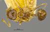 http://mczbase.mcz.harvard.edu/specimen_images/entomology/large/MCZ-ENT00021354_Azteca_ulei_had.jpg