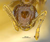http://mczbase.mcz.harvard.edu/specimen_images/entomology/large/MCZ-ENT00021354_Azteca_ulei_hef.jpg